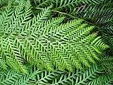 Woodwardia Finbriata fern plant in 13cm pot. Japanese Painted Fern