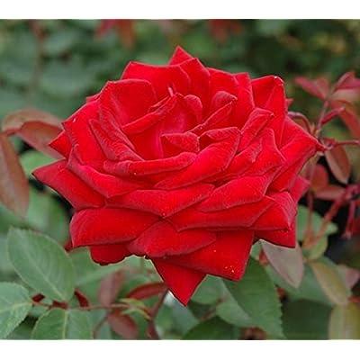 """Kashmir Red Easy Elegance Rose - Live Plant - 4"""" JumpStarts Plug: Garden & Outdoor"""