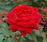 New Life Nursery & Garden Kashmir Red Trade Gallon Pot Easy Elegance Rose