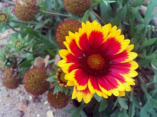 100 ARIZONA SUN GAILLARDIA Indian Blanket Flower Seeds