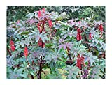 Red Castor Bean, Mole Bean, Tropical Look, Fast Growing Bush/Tree - Ricinus Communis, (16+ Seeds)