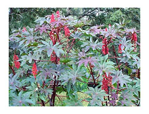 Red Castor Bean, Mole Bean, Tropical Look, Fast Growing Bush/Tree - Ricinus Communis, (16+ Seeds)