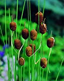 Van Zyverden - Premium Series - Pond Marginal Typha Minima Mini Cattail - Kit