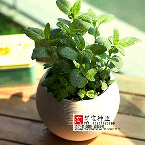 AGROBITS Peppermint Bonsai Lemon Fragrance Mints Family Plant Potted Plants Spearmint Food Consumption cat Mint Bonsai 100pcs