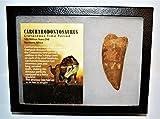 Carcharodontosaurus Dinosaur Tooth 3.247'' Fossil African T-Rex XLDB #14160 21o