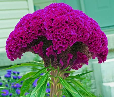 S//H See Our Store tall Comb Details about  /Yellow /& Pink Marble Brain Celosia 30 SEEDS 3-4 ft