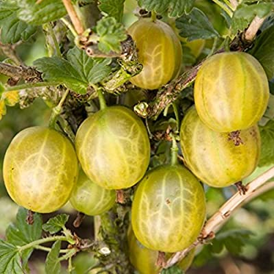 Yellow Fruiting Gooseberry 5 Seeds GREAT IN PIES