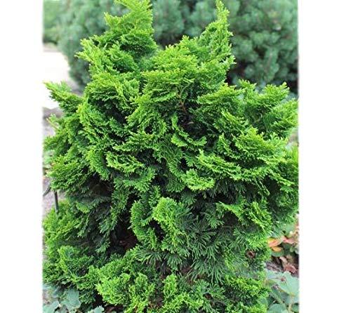 Hinoki Cypress Tree - Dwarf Hinoki Cypress (nana gracilis) - Live Plant - Trade Gallon Pot