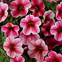 Outsidepride Calibrachoa Crave Strawberry Star Flower Seeds - 10 Seeds