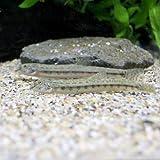 (淡水魚)シマドジョウ 6~10cm(3匹) どじょう