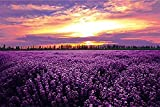 "Wooden Jigsaw Puzzle Lavender Flowers Sunset Purple Field Landscape 1000-Pieces Size 30"" x 20"" Puzzle Basswood Premium Quality"