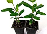Pineapple Guava Tree Plant Garden Greenhouse - 2 Pack New Best Gift Live Plant