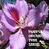 10 Purple Orchid Tree Seeds