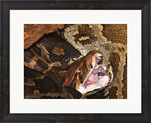 - Burmese Python Framed Art Print Wall Picture, Espresso Brown Frame, 20 x 16 inches