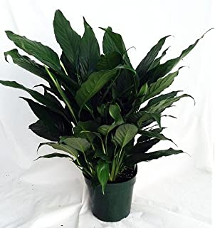 Amazon.com : Jmbamboo - Midnight Weeping Fig Tree - Ficus - Great ...