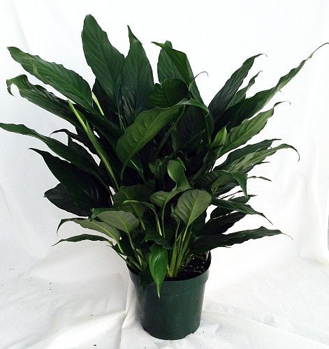 Peace Lily Plant - Spathyphyllium - Great House Plant - 4
