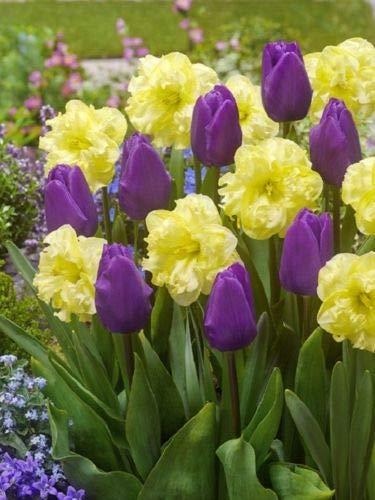 6 Purple Yellow Tulip Daffodil Bulbs Mix Spring Flower Garden Hardy Perennial by MW209