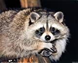 """50"""" x 80"""" Blanket Comfort Warmth Soft Plush Throw for Couch Cute Raccoon Sitting on a Tree"""