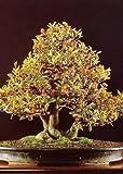 Tropica - Bonsai - nano - arancio (Citrus trifoliata) - 10 semi