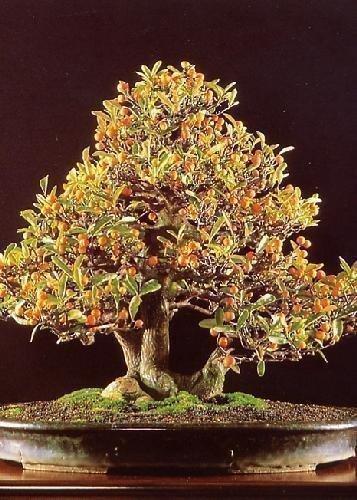 2 opinioni per Tropica- Bonsai- nano- arancio (Citrus trifoliata)- 10 semi
