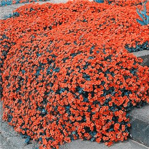 200 Creeping Thyme Seeds Flower Seeds ROCK CRESS GROUND COVER Seeds Carpet Evergreen Plant Easy to Grow for Garden Lawn 1 - Medium Garden Cover Rock