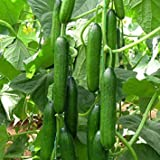 Cucumber Beit Alpha (60 seeds) Fresh Persian Flavor
