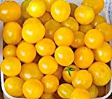 Blondkopfchen Organic Tomato Seeds - aka Little Blonde Girl - High Yielding!!!(25 - Seeds)