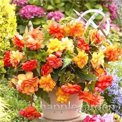 Piante E Fiori Da Giardino.Pinkdose Spedizione Gratuita 100 Pz Rare Begonia Piante Hybrida