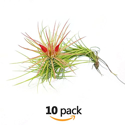 The Drunken Gnome Funkiana Air Plant Pack Tillandsia Live Easy Flowering Houseplants for Indoor Garden Office or Terrarium Choose 3 Pack 5 Pack or 10 Pack Sizes Small to Large - Glass Online Watch House The