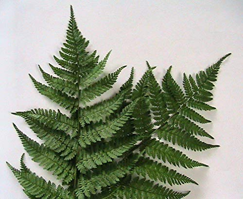 100 Northern Wood Fern Fern Spores Perennial Shade Plant
