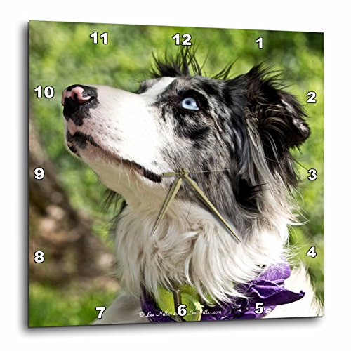 Lee Hiller Photography Pets - Dogs Blue-Merle Border Coll...