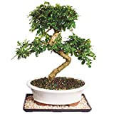 Brussel's Fukien Tea Bonsai - Large (Indoor) with Humidity Tray & Deco Rock