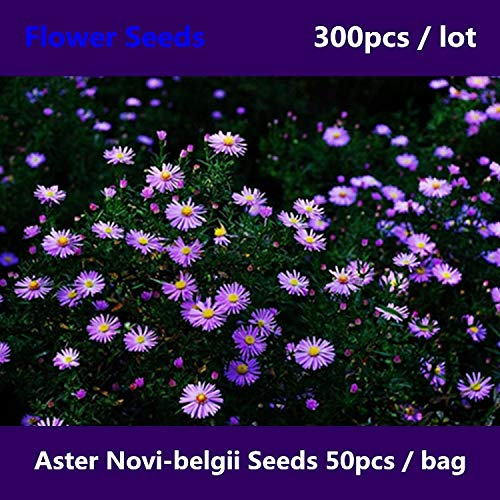 Shopvise Strong Adaptability Aster Novi-Belgii 300Pcs, Beautifying New York Aster Flower, Traditional Michaelmas ()