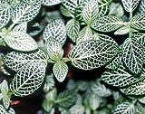 "Silver Nerve Plant - Fittonia verschaffeltii - 4"" Pot by Hirts: House Plants"