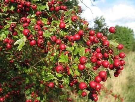 Amazon.com: Single Seed English Hawthorn, Crataegus monogyna, Tree ...