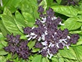 250 SIAM QUEEN THAI BASIL Ocimum Thyrsiflora HERB Flower Seeds