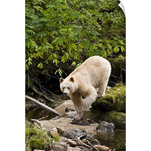 (CANVAS ON DEMAND North America, Canada, British Columbia, Princess Royal Island, Kermode (Spirit) Bear Wall Peel.)
