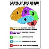 Parts of the Brain - NEW Classroom Science Biology Anatomy Poster