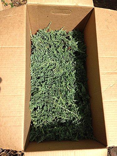 Blue Rug Juniper Wiltonii Qty 30 Live Plants Evergreen Groundcover by Blue Rug Juniper (Image #7)