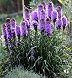 Seedville Liatris Spicata Blazing Star Gayfeather Flowers - 500 Seeds