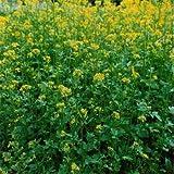 Outsidepride Yellow Mustard - 5000 Seeds