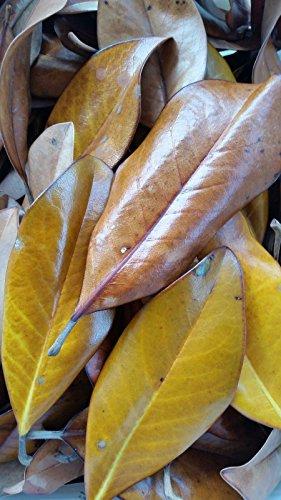 Dried Magnolia (Dried Magnolia Leaves - 1 Gallon Bag - Organic Leaf Litter)