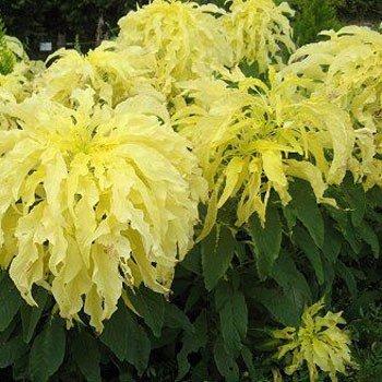 Outsidepride Amaranthus Yellow - 5000 seeds