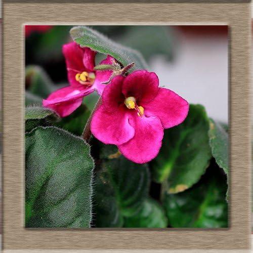 50 PCS Roja Violeta Semillas plantas del jardín de las semillas de flor en maceta Violeta perenne hierba matthiola Incana de semillas: Amazon.es: Jardín