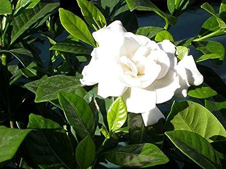 Gardenia jasminoides Cape jasmine quart plant FREE SHIPPING