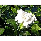 Fragrant Cape Jasmine Shrub, Gardenia Jasminoides, 50 Seeds