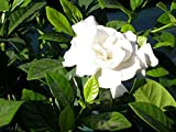 Fragrant Cape Jasmine Shrub, Gardenia Jasminoides, 50 Seeds