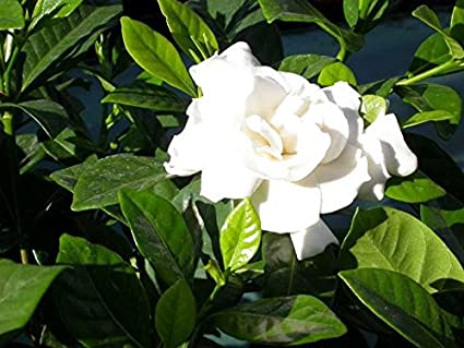 Amazon fragrant cape jasmine shrub gardenia jasminoides 50 fragrant cape jasmine shrub gardenia jasminoides 50 seeds mightylinksfo