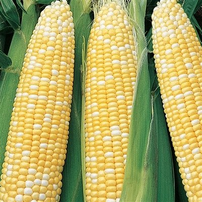 Serendipity Hybrid (Triplesweet) Corn (Super Sweet Corn)
