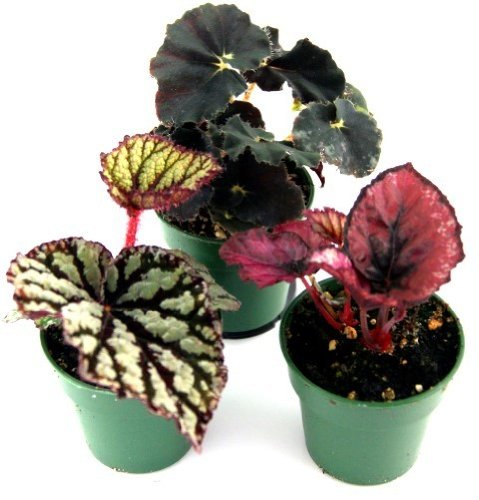 Best Summer Flower in the US -Begonia